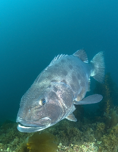 Giant black sea bass, Stereolepis gigas