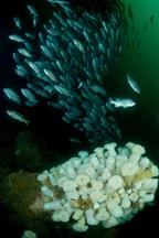 Blue rockfish, Sebastes mystinus, Giant plumed anemone, Metridium farcimen