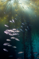 Blue rockfish, Sebastes mystinus, Giant kelp, Macrocystis sp.
