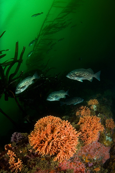 Blue rockfish, Sebastes mystinus, Blue rockfish, Sebastes mystinus