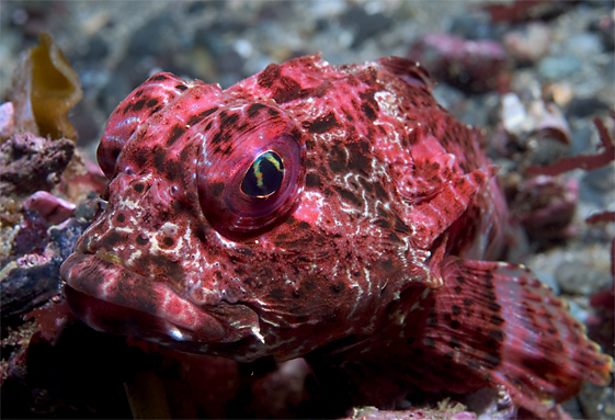 Bull sculpin, Enophrys taurina