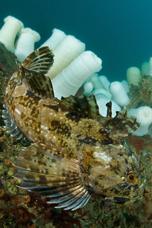 Cabezon, Scorpaenichthys marmoratus