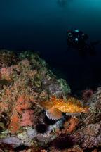 Cabezon, Scorpaenichthys marmoratus, Divers