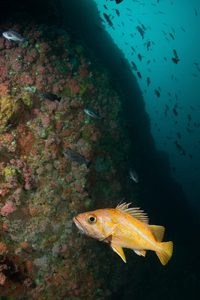 Canary rockfish, Sebastes pinniger, Blue rockfish, Sebastes mystinus