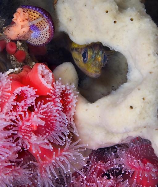 China rockfish, Sebastes nebulosus, Club-tipped anemone, Corynactus californica, Jewel top snail, Calliostoma annulatum