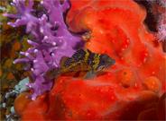 China rockfish, Sebastes nebulosus, California hydrocoral, Stylaster californicus, Red sponge, Unidentified