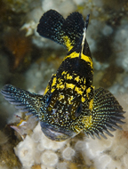 China rockfish, Sebastes nebulosus, Metridium senile, Metridium senile