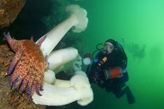 Sunflower star, Pycnopodia helianthoides, Giant plumed anemone, Metridium farcimen, Divers