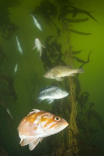 Copper rockfish, Sebastes caurinus, Black rockfish, Sebastes melanops, Brown rockfish, Sebastes auriculatus