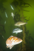 Brown rockfish, Sebastes auriculatus, Black rockfish, Sebastes melanops, Brown rockfish, Sebastes auriculatus