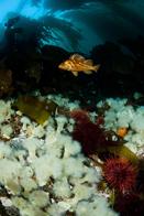 Copper rockfish, Sebastes caurinus, Metridium senile, Metridium senile