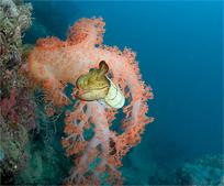 Broadclub cuttlefish, Sepia latimanus
