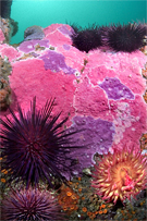 Red sea urchin, Strongylocentrotus franciscanus, Red sea urchin, Strongylocentrotus franciscanus, White-spotted anemone, Urticina lofotensis