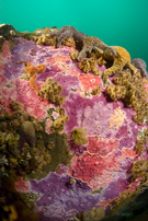 Encrusting hydrocoral, Stylantheca porphyra, Ochre star, Pisaster ochraceus