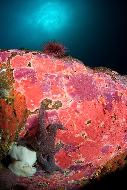 Encrusting hydrocoral, Stylantheca porphyra