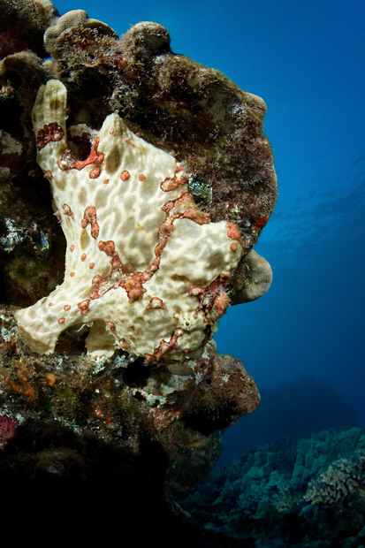 Commerson's frogfish, Antennarius commerson