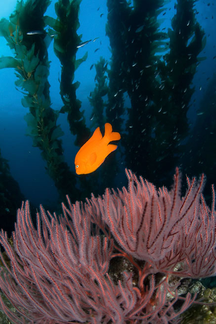 Garibaldi, Hypsypops rubicundus, Red gorgonian, Lophogorgia chilensis, Giant kelp, Macrocystis sp.