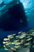 Yellowfin goatfish, Mulloidichthys vanicolensis
