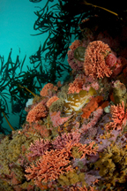 Gopher rockfish, Sebastes carnatus, California hydrocoral, Stylaster californicus
