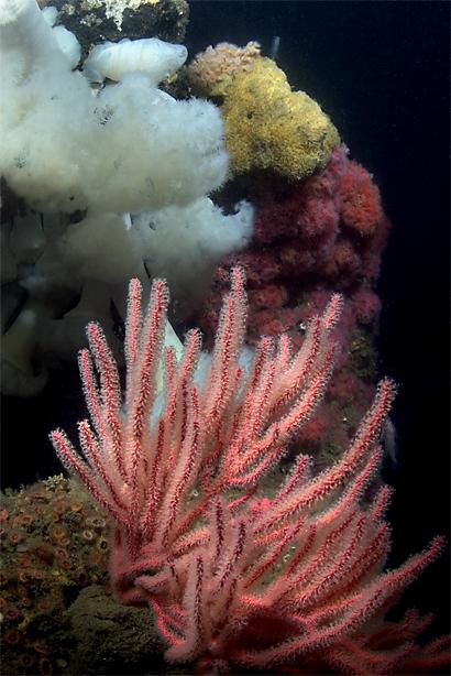 Red gorgonian, Lophogorgia chilensis, Giant plumed anemone, Metridium farcimen