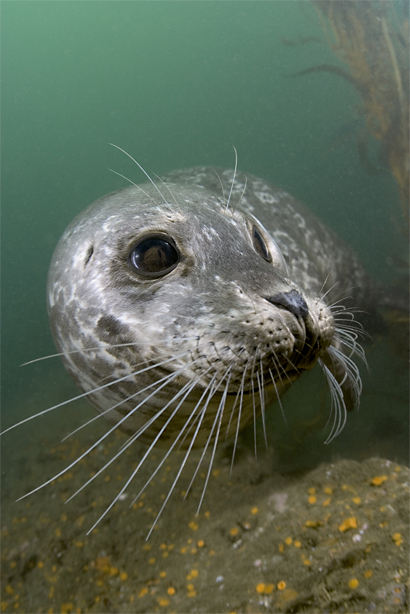 Harbor seal, Phoca vitulina