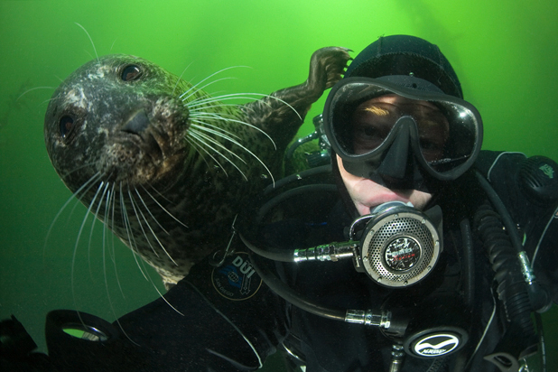 Harbor seal, Phoca vitulina, Divers