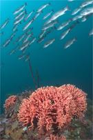 California hydrocoral, Stylaster californicus, Blue rockfish, Sebastes mystinus