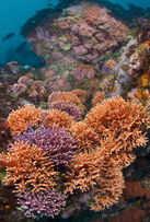 California hydrocoral, Stylaster californicus