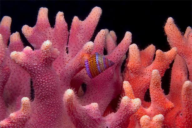 Jewel top snail, Calliostoma annulatum, Jewel top snail, Calliostoma annulatum