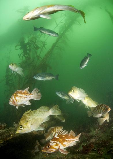 Kelp rockfish, Sebastes atrovirens, Copper rockfish, Sebastes caurinus, Blue rockfish, Sebastes mystinus