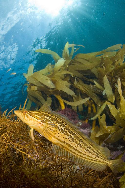 Giant kelpfish , Heterostichus rostratus