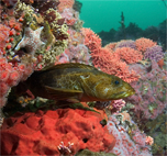Lingcod, Ophiodon elongatus, Leather star, Dermasterias imbricata, Red sponge, Unidentified