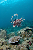 Lionfish, Pterois sp.