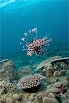Lionfish, Pterois sp.