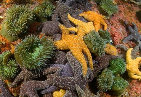 Giant green anemone, Anthopleura xanthogrammica, Ochre star, Pisaster ochraceus