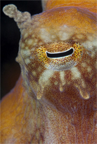Red octopus, Octopus rubescens