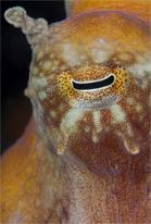 Red octopus, Octopus rubescens