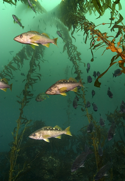 Blue rockfish, Sebastes mystinus, Blue rockfish, Sebastes mystinus, Giant kelp, Macrocystis sp.