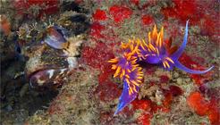 Onespot fringehead, Neoclinus uninotatus, Spanish shawl, Flabellina iodinea