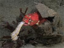 Onespot fringehead, Neoclinus uninotatus