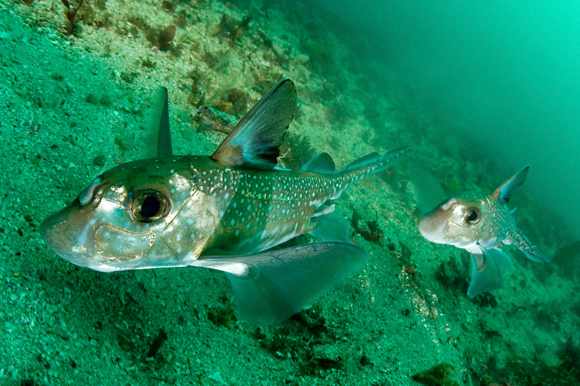 Spotted ratfish, Hydrolagus colliei