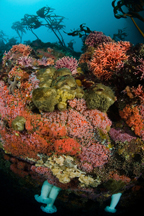 Club-tipped anemone, Corynactus californica, Giant plumed anemone, Metridium farcimen, California hydrocoral, Stylaster californicus