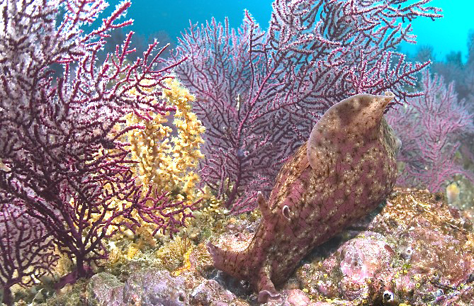 California sea hare, Aplysia californica, Purple gorgonian, Eugorgia rubens, Zoanthid anemone