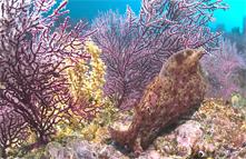 California sea hare, Aplysia californica, Purple gorgonian, Eugorgia rubens, Zoanthid anemone