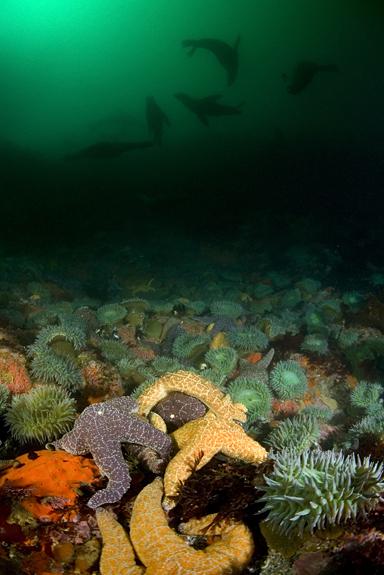 Ochre star, Pisaster ochraceus, Giant green anemone, Anthopleura xanthogrammica, Ochre star, Pisaster ochraceus