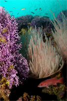 Red gorgonian, Lophogorgia chilensis, California hydrocoral, Stylaster californicus, Red gorgonian, Lophogorgia chilensis