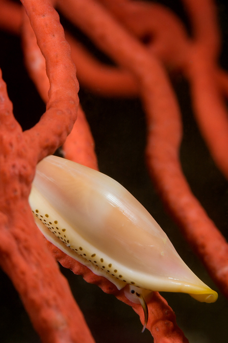 Simnia, Delonovolva aequalis, Red gorgonian, Lophogorgia chilensis