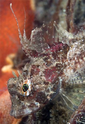 Spotfin sculpin, Icelinus tenuis