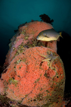 Striped perch, Embiotoca lateralis, Club-tipped anemone, Corynactus californica