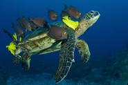 Green sea turtle, Chelonia mydas, Gold-ringed surgeonfish, Ctenochaetus strigosus, Yellow tang, Zebrasoma flavescens